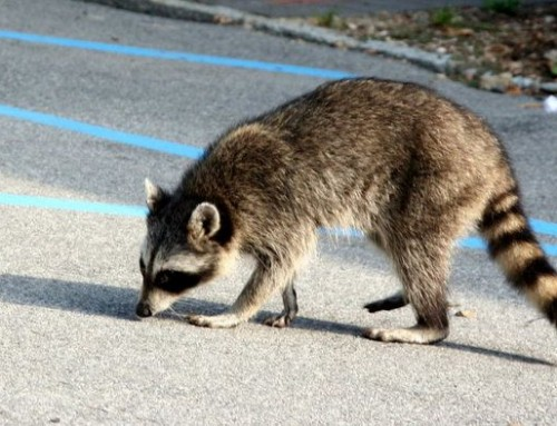 Rabies found in Shelby County cat and raccoon